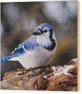 Blue Jay Day Wood Print