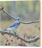 Blue Jay Poses In Crab Apple Tree Wood Print