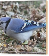 Blue Jay With A Full Mouth Wood Print