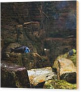 Blue Little Fish In Aquarium Wood Print
