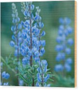 Blue Lupine In The Tetons  Wood Print