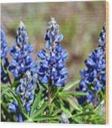 Blue Lupines Wood Print