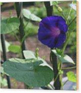 Blue Morning Glory Vine Wood Print