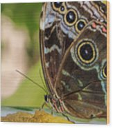 Blue Morpho Butterfly Morpho Peleides  Wood Print