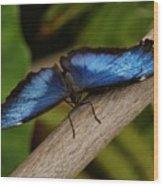 Blue Morpho Butterfly Wood Print by Sandy Keeton