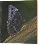 Blue Morpho.. Wood Print