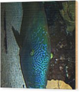 Blue Parrot Fish Wood Print