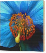 Blue Poppy II - Closeup Wood Print