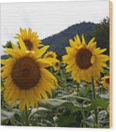 Blue Ridge Sunflowers  Wood Print