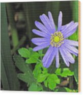 Blue Sailor Wood Print