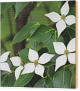 Blue Shadow Dogwood Flowers Wood Print