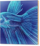 Blue Siamese Fighting Fish Wood Print