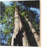 Blue Sky Big Redwood Trees Forest Art Prints Baslee Troutman Wood Print