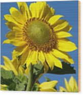 Blue Sky Sunflower Day Wood Print