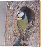 Blue Tit Leaving Nest Wood Print by Cliff Norton