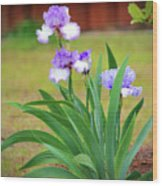 Blue Violet Irises  Wood Print