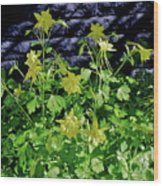 Blue Wall Yellow Columbine Wood Print