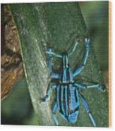 Blue Weevel Wood Print