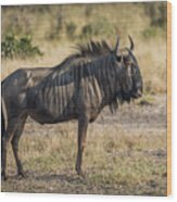 Blue Wildebeest Standing On Savannah Staring Ahead Wood Print