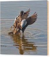 Blue Winged Teal 2 Wood Print