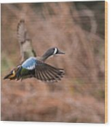Blue Winged Teal Wood Print