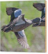Blue-winged Teal In Flight 3 Wood Print