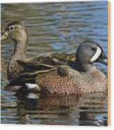 Blue Winged Teal Pair Wood Print