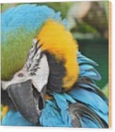 Blue/yellow Parrot Wood Print