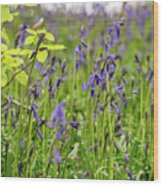 Bluebells In Judy Woods Wood Print