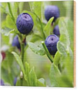 Blueberry Shrubs Wood Print