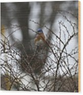 Bluebird In Briars Wood Print