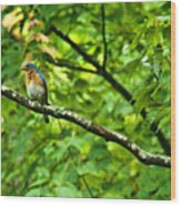 Bluebird Looking About Wood Print