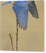Bluebird Takes Flight Wood Print