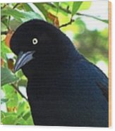 Boat Tailed Grackle Close Up Wood Print
