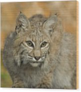 Bobcat Felis Rufus Wood Print by Grambo Photography and Design Inc.