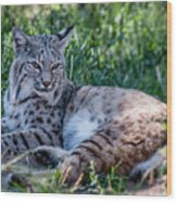 Bobcat In The Grass 2 Wood Print