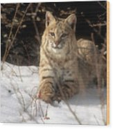 Bobcat In The Snow. Wood Print