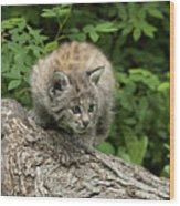 Bobcat Kitten Exploration Wood Print by Sandra Bronstein