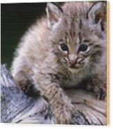 Bobcat Kitten Wood Print