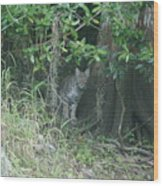 Bobcat In The Everglades Wood Print