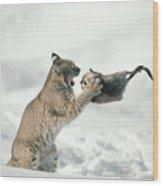 Bobcat Lynx Rufus Capturing Muskrat Wood Print by Michael Quinton
