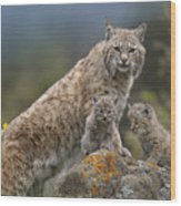 Bobcat Mother And Kittens North America Wood Print