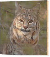 Bobcat Portrait Surrounded By Pine Wood Print by Max Allen