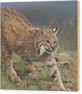 Bobcat Stalking North America Wood Print by Tim Fitzharris