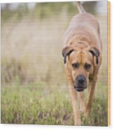 Boerboel Dog Wood Print