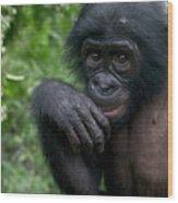 Bonobo Pan Paniscus Juvenile Orphan Wood Print