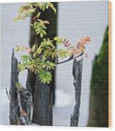 Bonsai Mountain-ash Wood Print