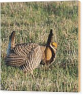 Booming Greater Prairie Chicken 5 Wood Print