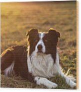 Border Collie At Sunset With Warm Colors Wood Print