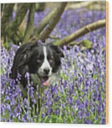 Border Collie In Bluebells Uk Wood Print